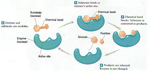 cosbiology / Lesson 3-05 Chemical Reactions and Enzymes