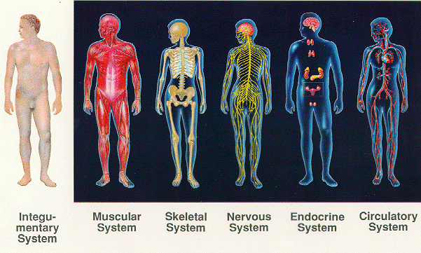 cosbiology / Lesson 6-02 - Other Body Systems