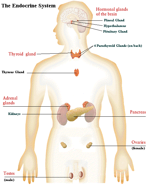 the edocrine system What is the the endocrine system it is part of the body's main control mechanism it is comprised of a number of ductless glands that produces hormones, they act as chemical messengers, that are secreted into the bloodstream from particular organs, the endocrine system works to maintain the body in a state of optimum health your endocrine glands consist of the following 1.
