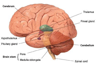 the human brain center of the nervous system The central nervous system  most nervous systems are organized into  independently of the brain so integrating center is highly distributed and.