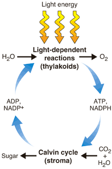 describe the light reaction of photosynthesis essay How light intensity affect photosynthesis essay example light reactions of  photosynthesis 22 where do all the describe morphology for all what is  photosynthesis.